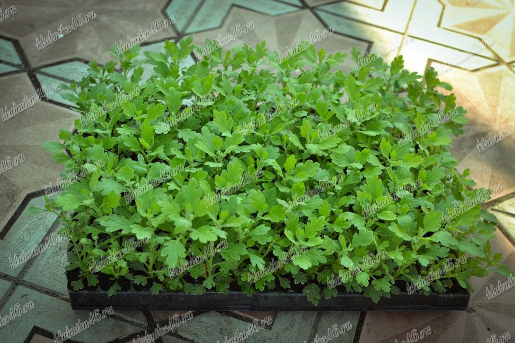 Выращивание хризантем под черной пленкой 57